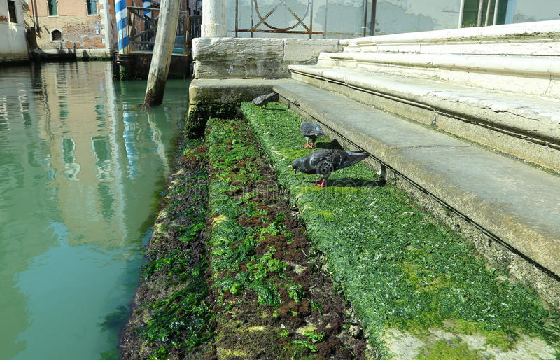 pigeons on the stairs covered with algae along a canal in Venice royalty free stock images