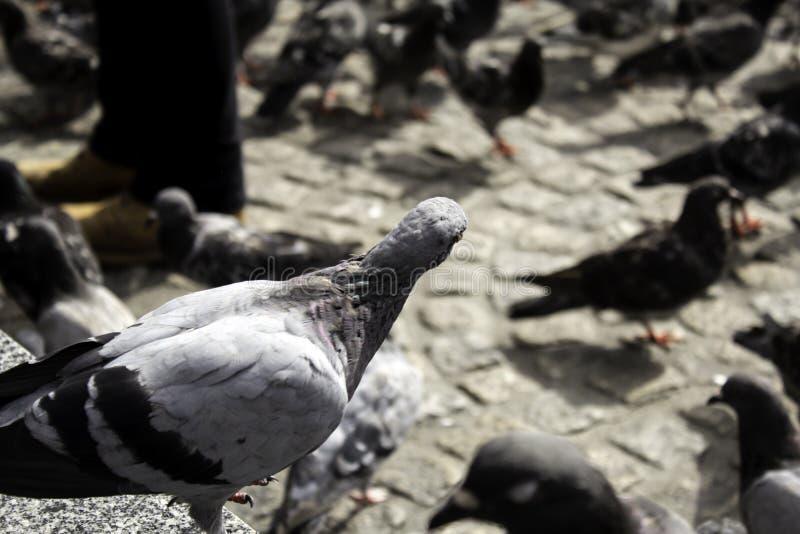 Pigeons in street. Pigeons in urban street, free birds, animals, landscape, pose, arrogant, posing, perching, environment, europe, branch, fauna, graceful royalty free stock photo