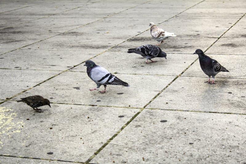 Pigeons in street. Pigeons in urban street, free birds, animals, landscape, pose, arrogant, posing, perching, environment, europe, branch, fauna, graceful stock photography