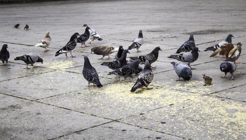 Pigeons in street. Pigeons in urban street, free birds, animals, landscape, pose, arrogant, posing, perching, environment, europe, branch, fauna, graceful stock images