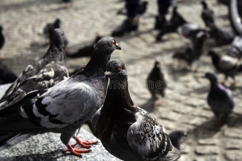 Pigeons in street. Pigeons in urban street, free birds, animals, landscape, pose, arrogant, posing, perching, environment, europe, branch, fauna, graceful stock photos