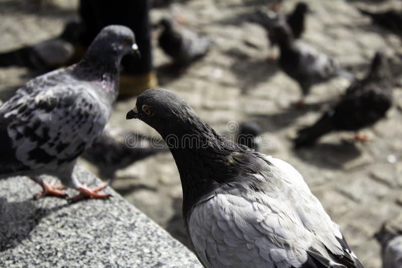 Pigeons in street. Pigeons in urban street, free birds, animals, landscape, pose, arrogant, posing, perching, environment, europe, branch, fauna, graceful stock image