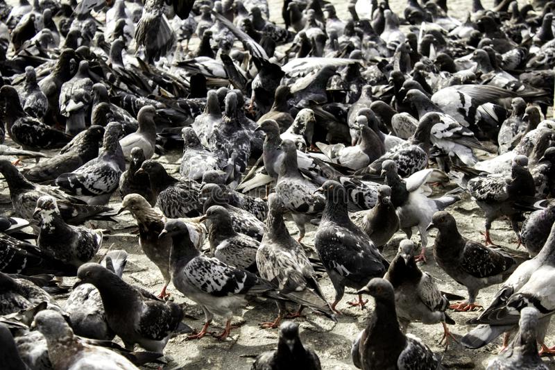 Pigeons in street. Pigeons in urban street, free birds, animals, landscape, pose, arrogant, posing, perching, environment, europe, branch, fauna, graceful stock photo