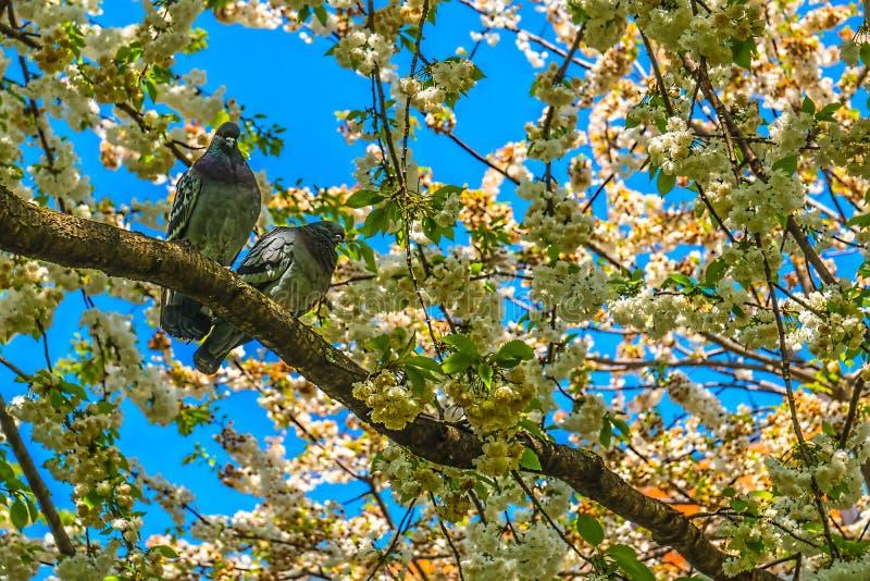 Pigeons sur l'arbre colombes deux photos libres de droits