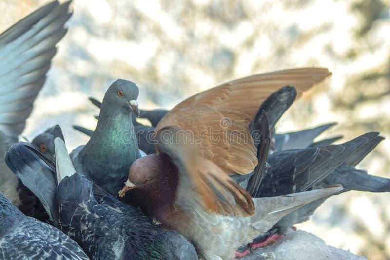 Pigeons sur le balcon pendant l'hiver images libres de droits