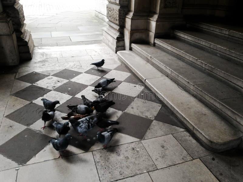 Pigeons sur un plancher modelé image libre de droits