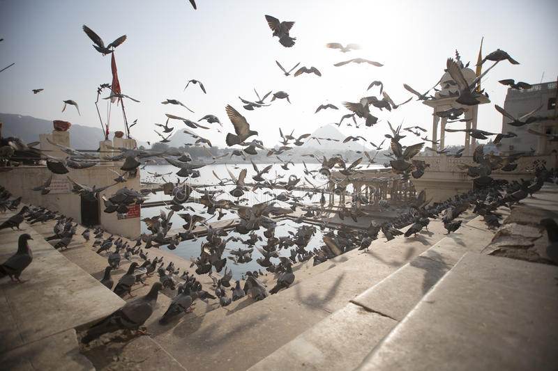 Pigeons taking flight on temple steps royalty free stock image