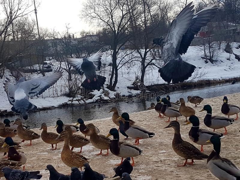 Pigeons in their natural habitat on the background of the river in the snow stock photos