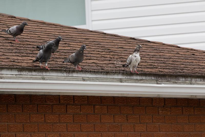 5 Pigeons on Top of a House Roof royalty free stock images