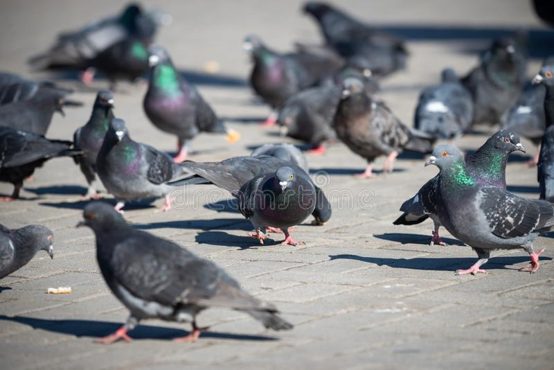 Pigeons on the town square, city life, Selective Focus. Recreation Holiday Concept. Bird, nature, animal, dove, wild, people, beautiful, street, summer, travel royalty free stock image