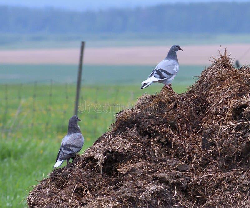 Pigeons traînant dans la basse-cour photos stock