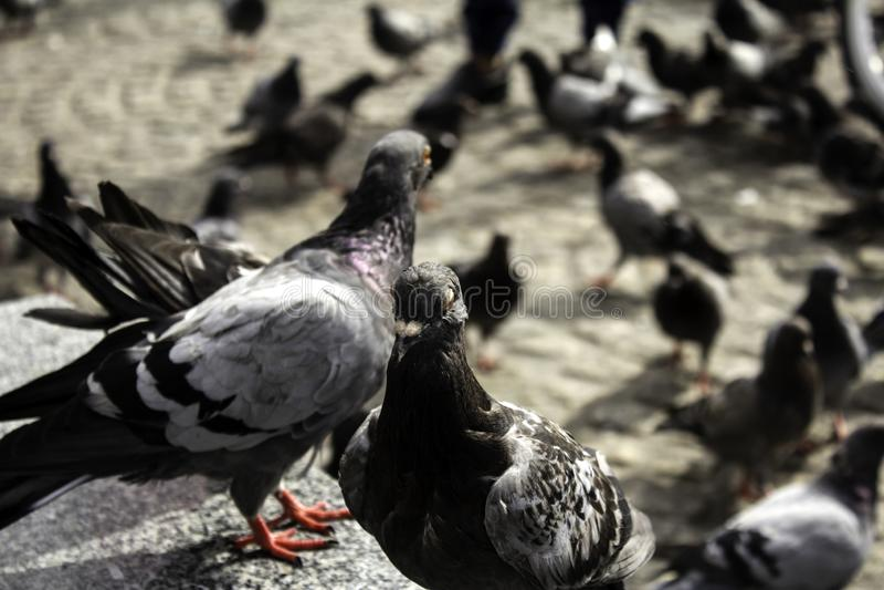 Pigeons in street. Pigeons in urban street, free birds, animals, landscape, pose, arrogant, posing, perching, environment, europe, branch, fauna, graceful royalty free stock images