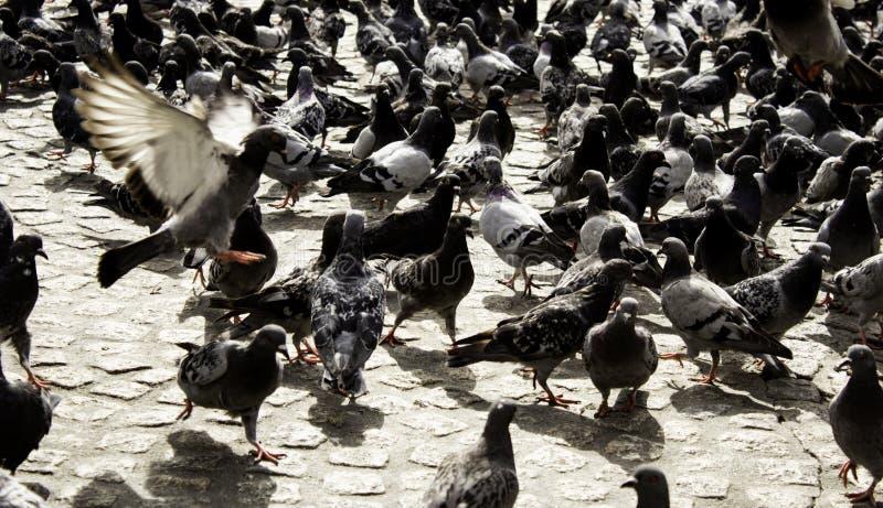 Pigeons in street. Pigeons in urban street, free birds, animals, landscape, pose, arrogant, posing, perching, environment, europe, branch, fauna, graceful royalty free stock photos
