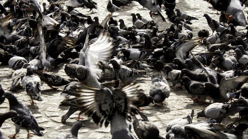 Pigeons in street. Pigeons in urban street, free birds, animals, landscape, pose, arrogant, posing, perching, environment, europe, branch, fauna, graceful royalty free stock image