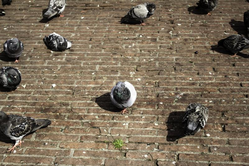 Pigeons in street. Pigeons in urban street, free birds, animals, landscape, pose, arrogant, posing, perching, environment, europe, branch, fauna, graceful royalty free stock photography