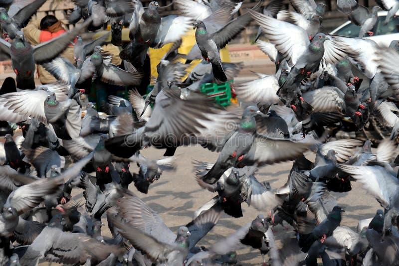 Pigeons volants dans le groupe photographie stock