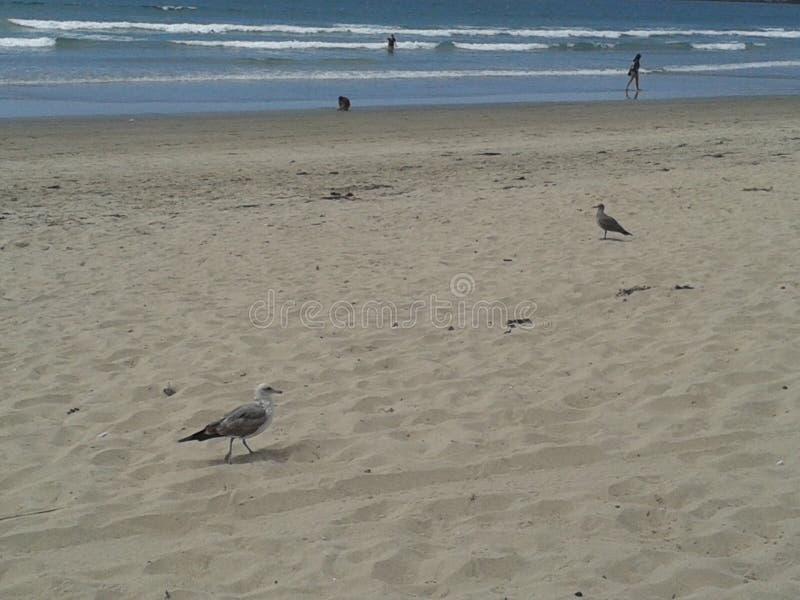 Pigeons volants mouette et pélicans au-dessus de ciel bleu de mer de brise-lames d'esplanade de plage d'Ensenada de vagues nuageu photos stock