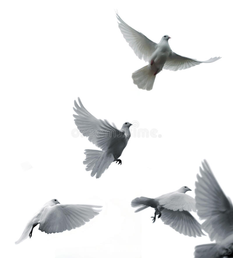 Pigeons voyageurs images stock