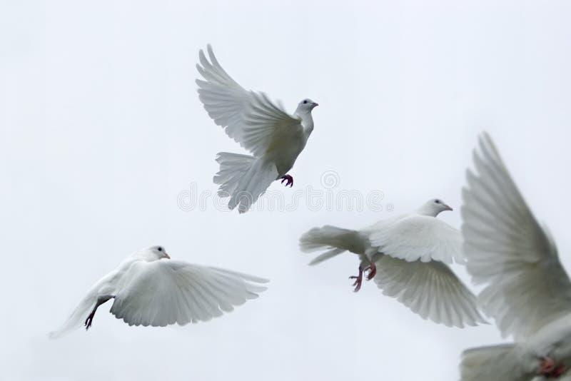 Pigeons voyageurs photo libre de droits