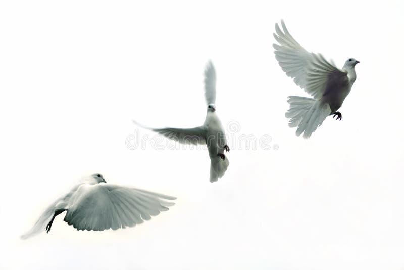 Pigeons voyageurs photo stock