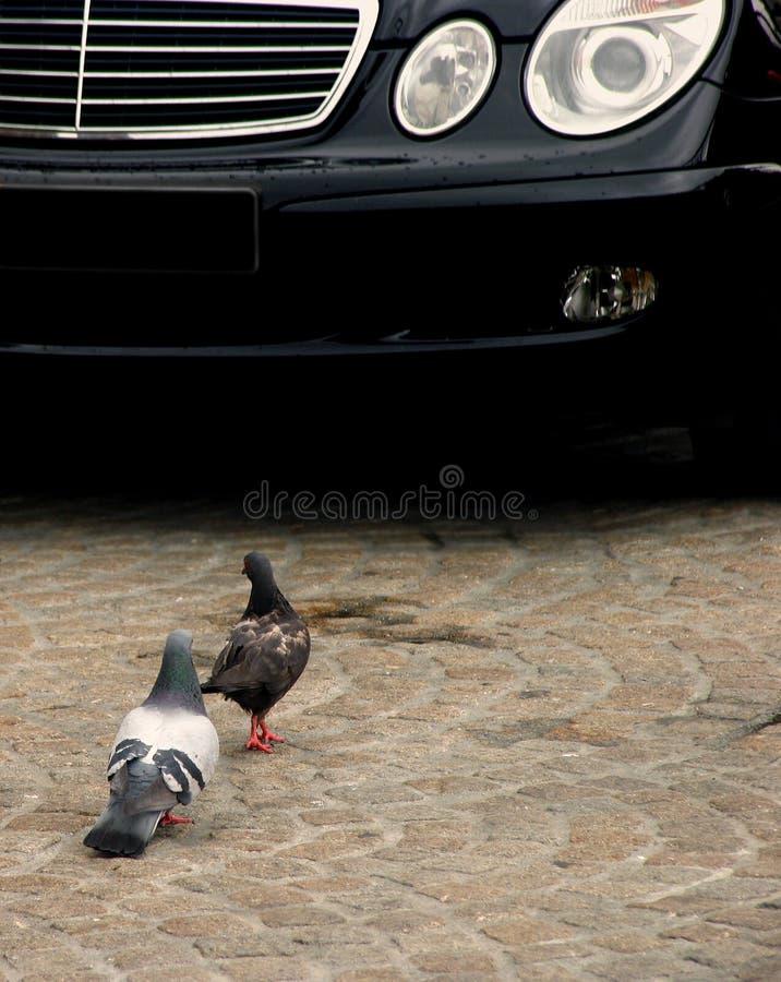 Pigeons Vs. Car Stock Images