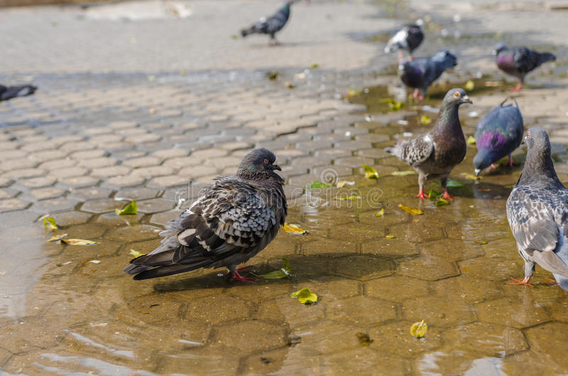 Pigeons in water puddle royalty free stock photos