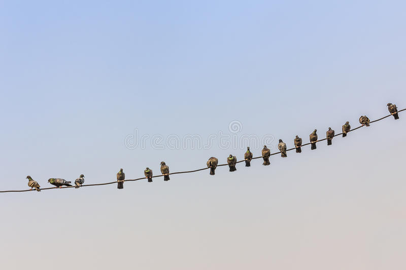 Pigeons on a wire royalty free stock photo