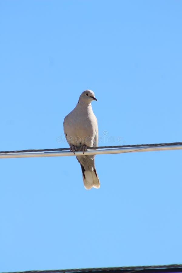 PigeonWire zdjęcie royalty free