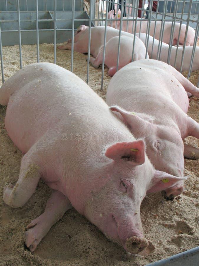 Piggies di sonno fotografie stock libere da diritti