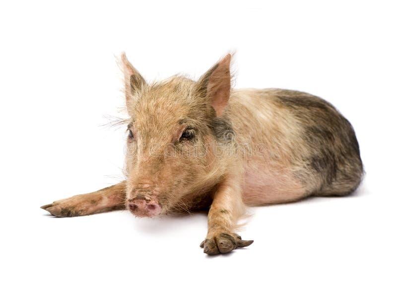 Pigglet immagine stock