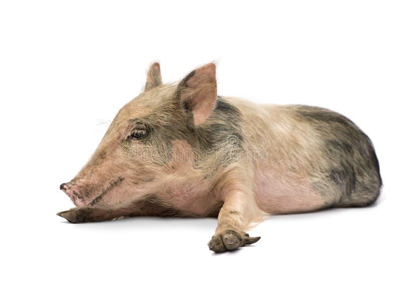 Pigglet stock foto's