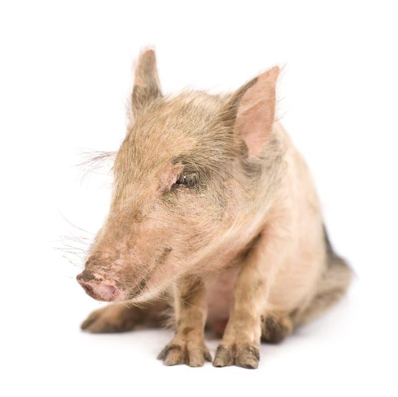 Pigglet royalty-vrije stock foto