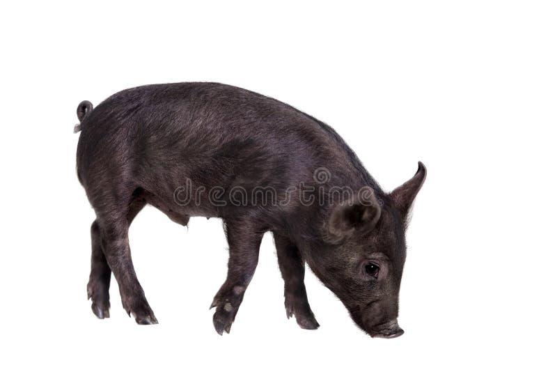 Piggy που απομονώνεται μαύρος στο λευκό στοκ εικόνες