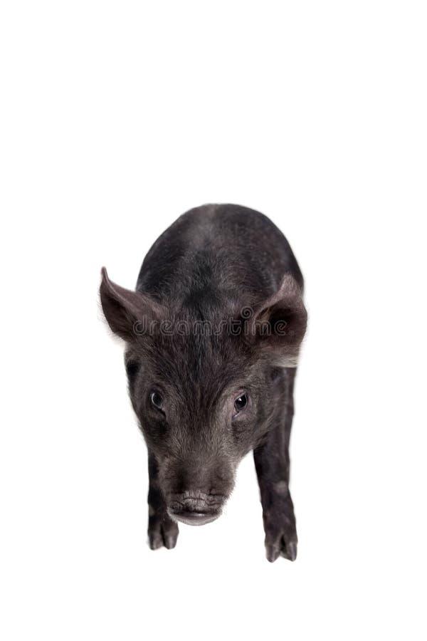 Piggy που απομονώνεται μαύρος στο λευκό στοκ φωτογραφία με δικαίωμα ελεύθερης χρήσης