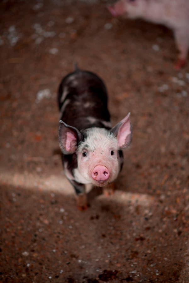 piggy стоковые изображения