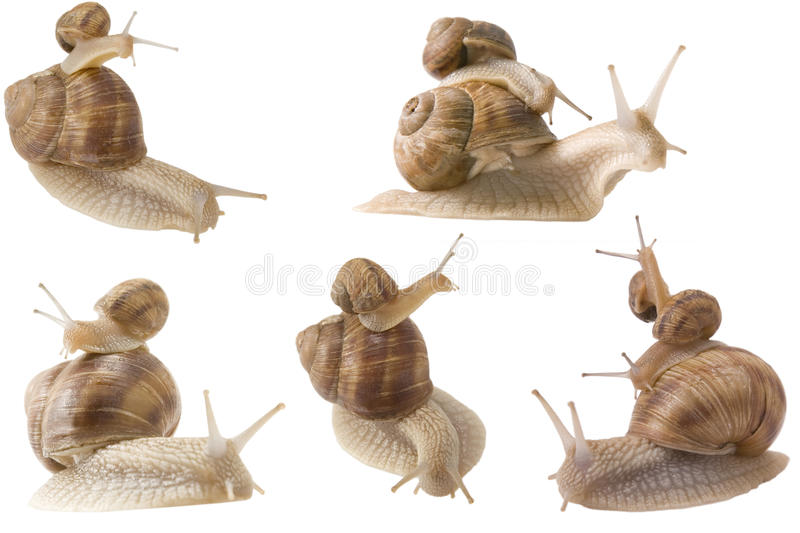 Piggy back snails stock image