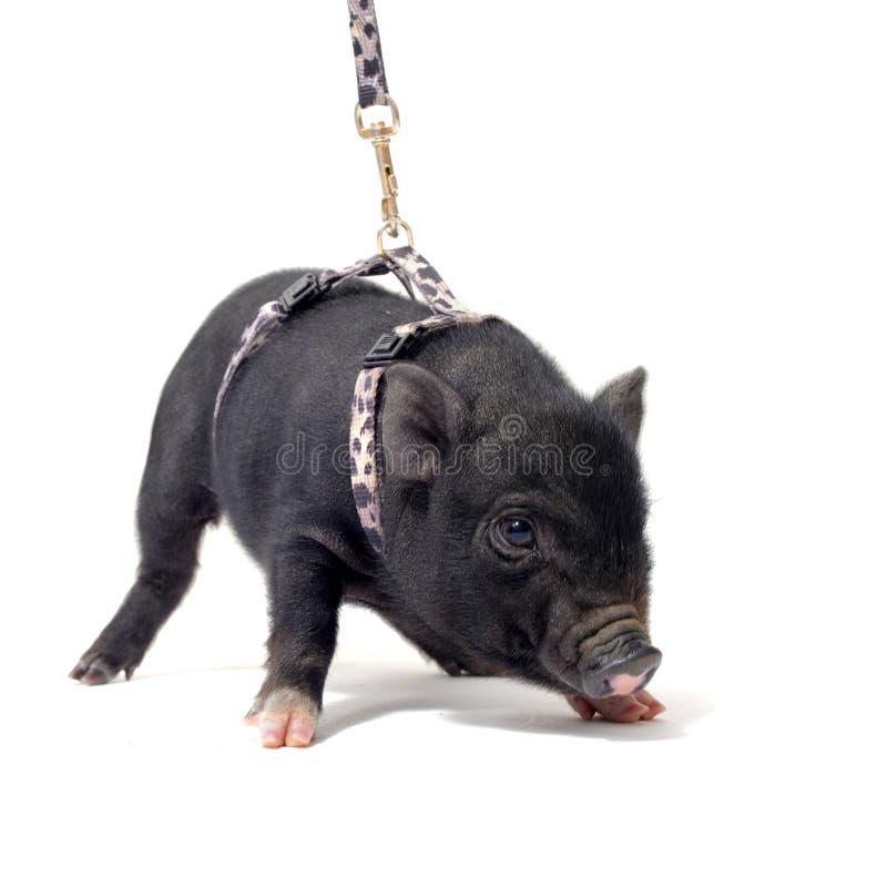 Piggy Liitle royalty-vrije stock foto's