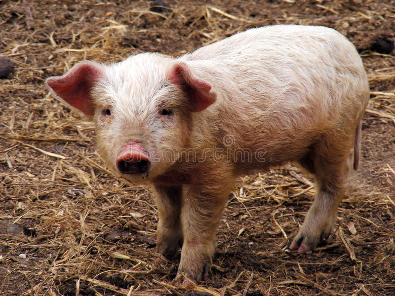 Download Piggy novo foto de stock. Imagem de olhar, comprimento - 16858924