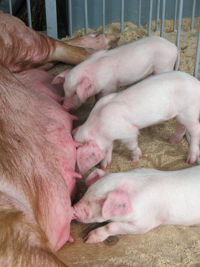 Piggy Säugling der Milch stockbild