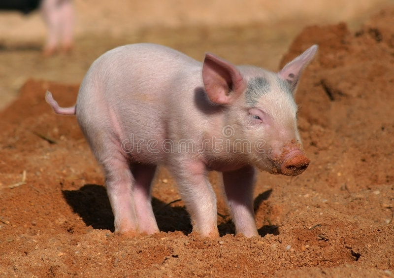 Piglet royalty free stock photography