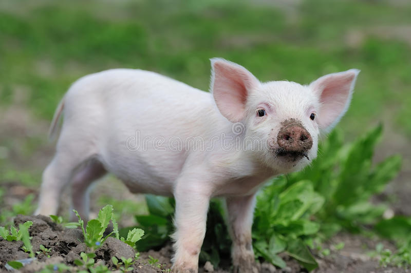 Piglet on farm. Piglet on spring green grass on a farm royalty free stock images
