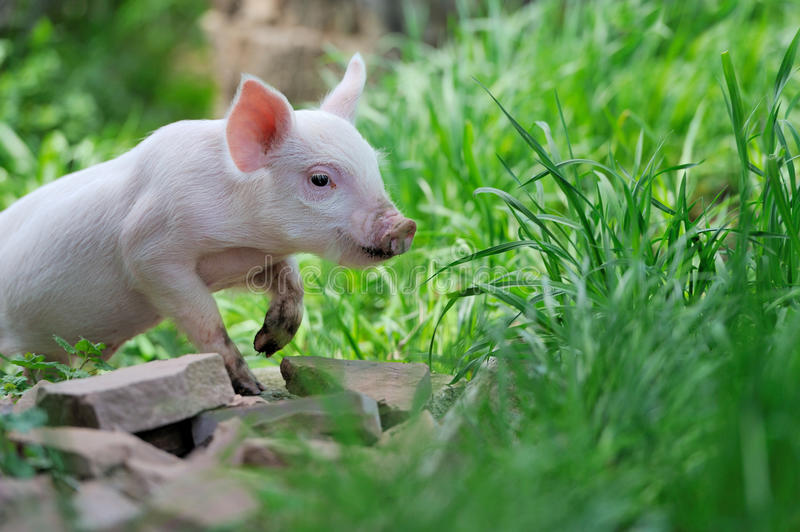 Piglet on farm. Piglet on spring green grass on a farm stock images