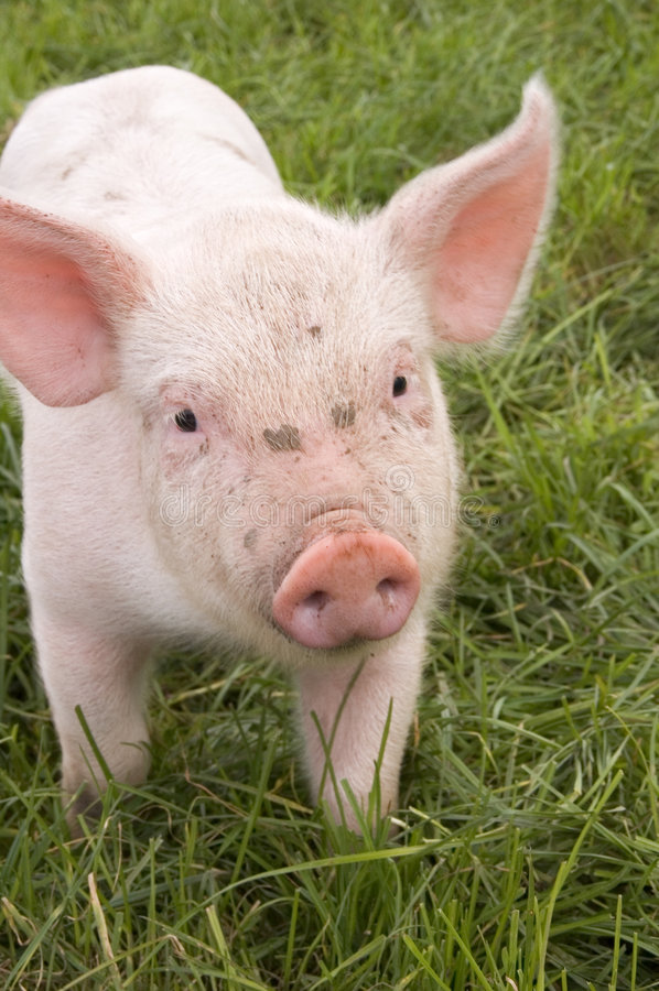 Free Piglet In Grass Stock Photo - 6611050