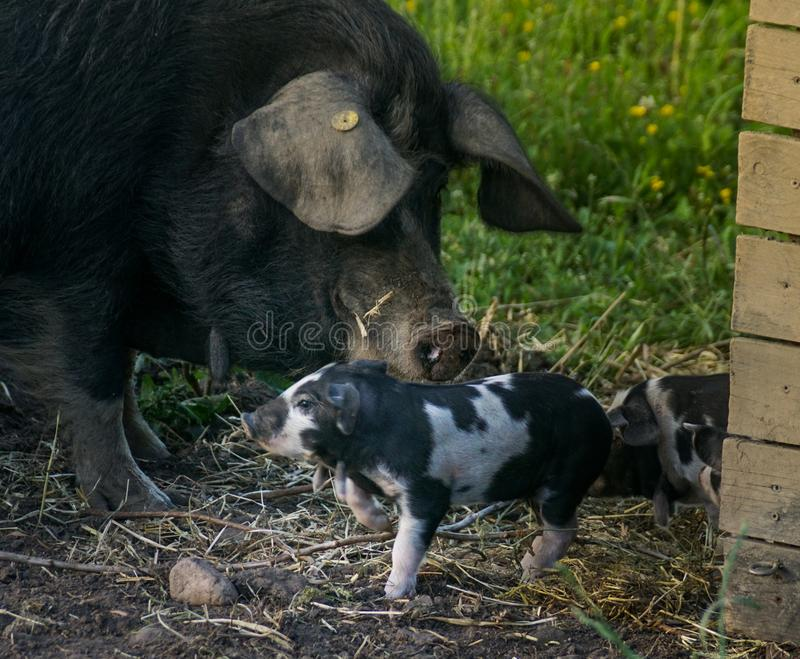 Piglet with mother royalty free stock photo