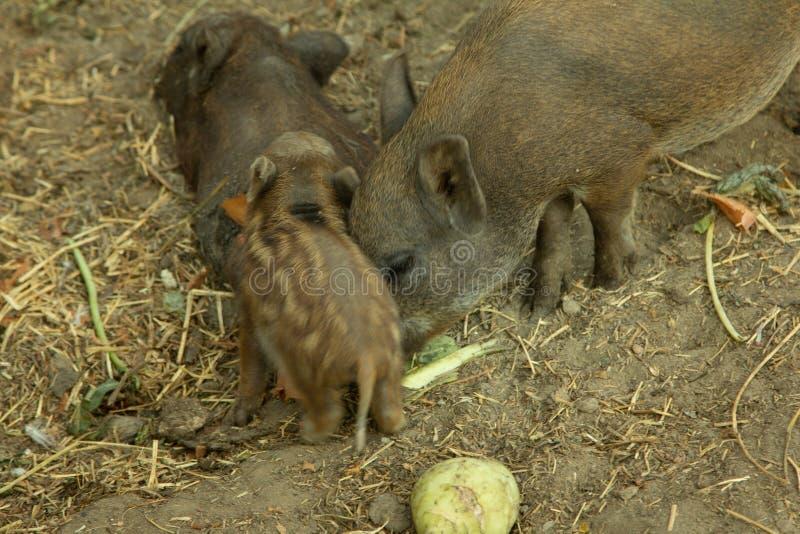 Piglet royalty free stock image