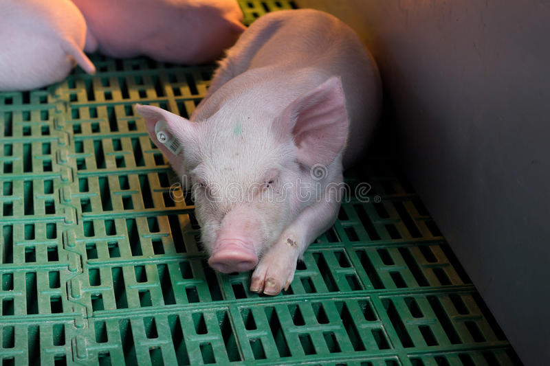 Piglet sleeping on plastic flooring. Cute piglet sleeping on plastic floor with heating in modern barn stock image