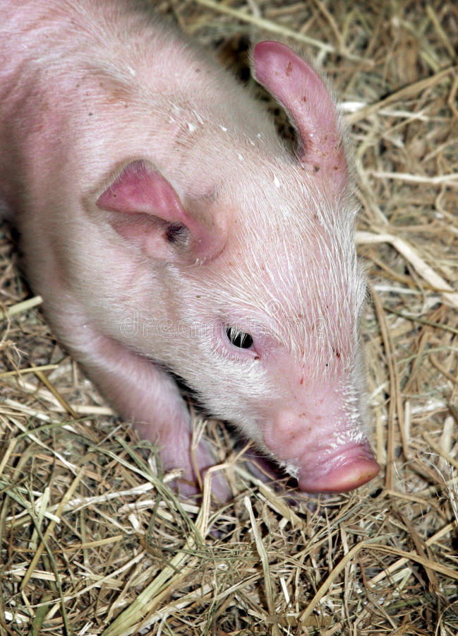 Download Piglet On Straw Royalty Free Stock Photos - Image: 10994738