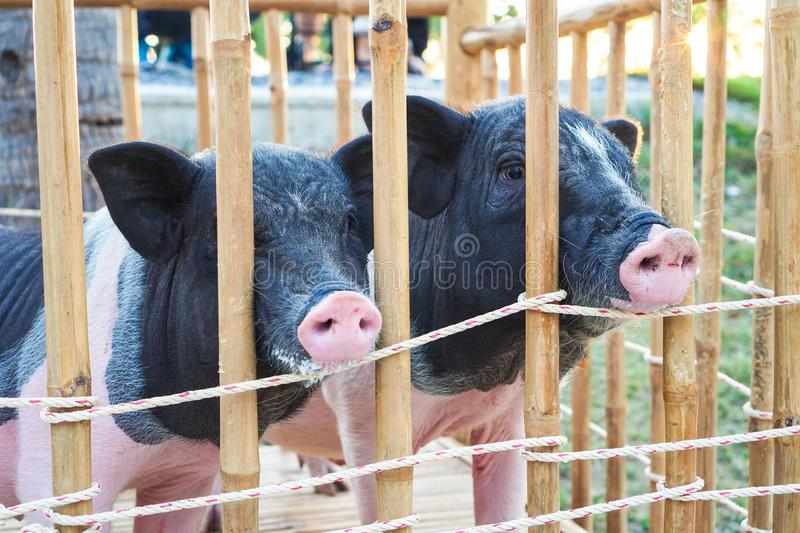 Piglet twin in the farm. group of pigs waiting feed. Piglet twin in the farm. group of pigs waiting feed stock photos