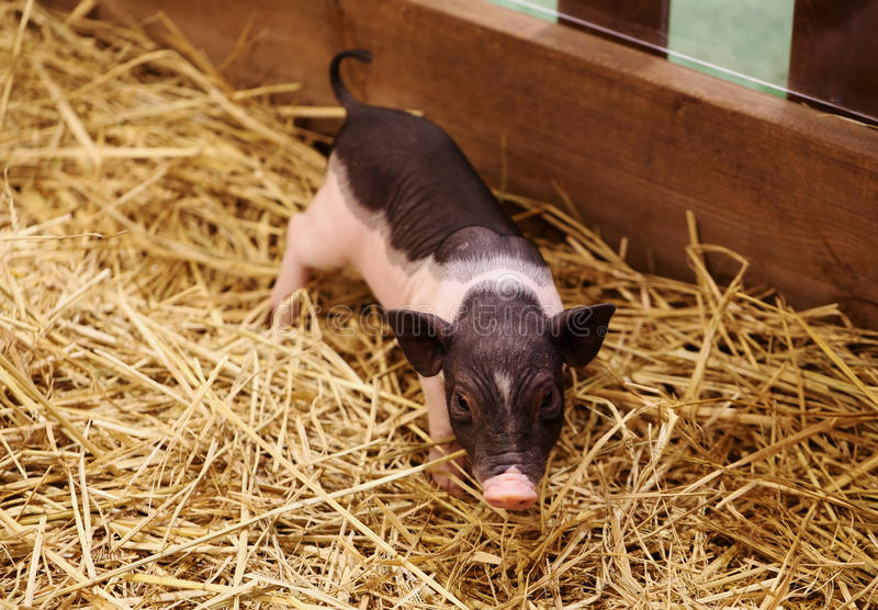 Download Piglet stock photo. Image of funny, meat, aquaculture - 35468458