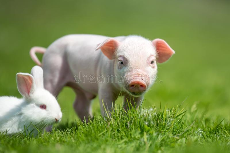 Piglet and white rabbit on spring green grass on a farm. Newborn piglet and white rabbit on spring green grass on a farm stock images